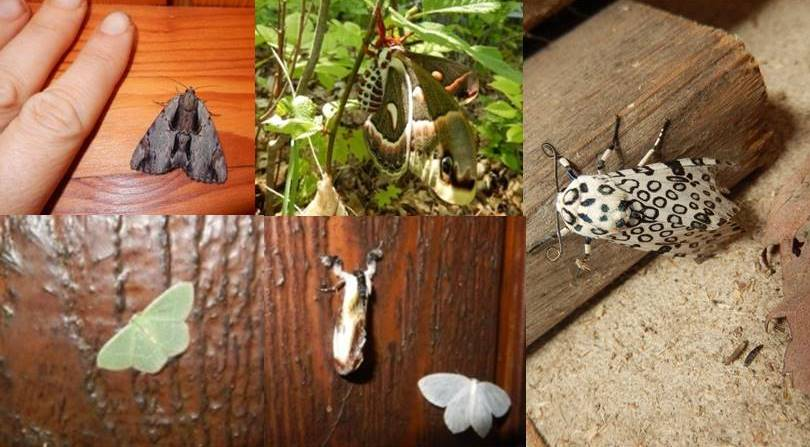 Sample Diversity of Moths at Elbow Lake